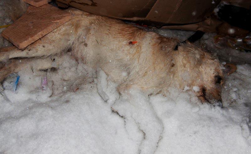 Убийство собаки дротиком с ядом